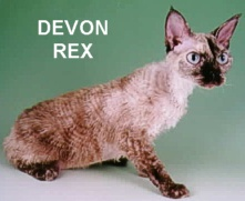 Devon Rex - Photo copywrite Anthony Nichols